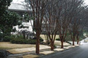 Crepe Myrtles, March 2013