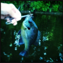 Bluegill, July 2013