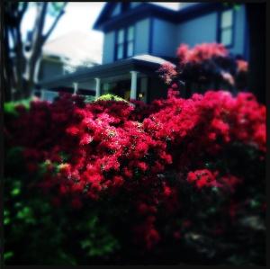 Azaleas hedge 2014