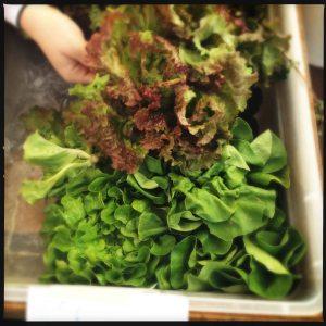 May lettuce 2014