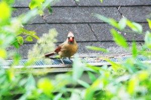 female cardinal 516