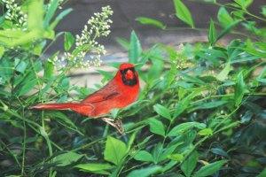 male cardinal 516